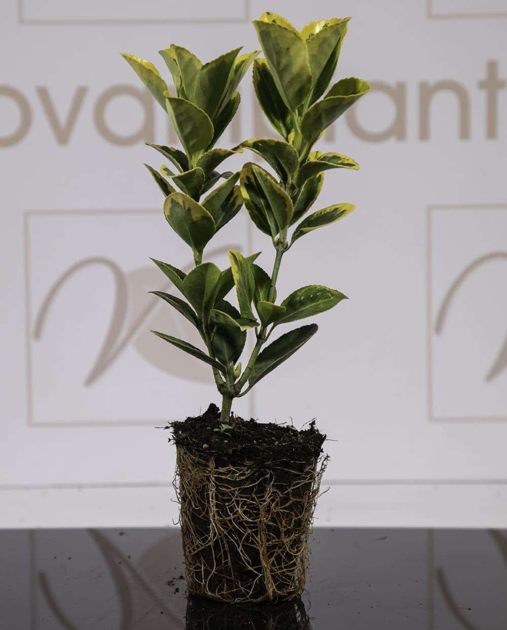 Euonimus Vaso Biodegradabile