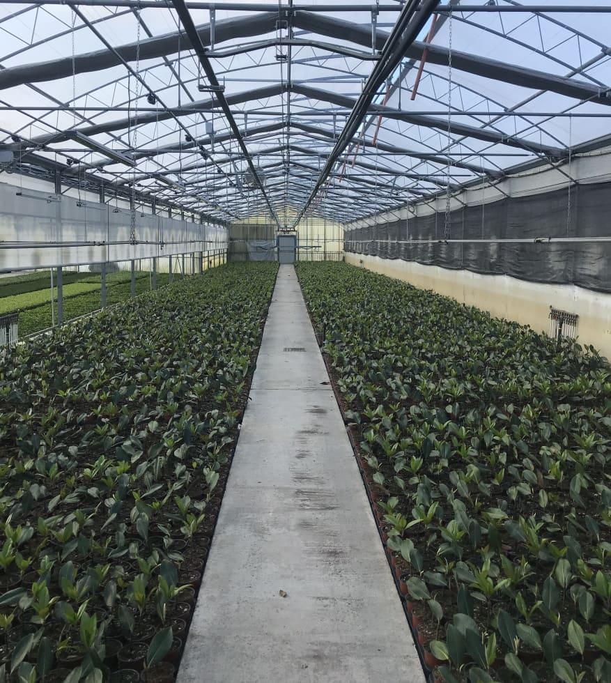 Magnolia Gallisoniensis Panoramica