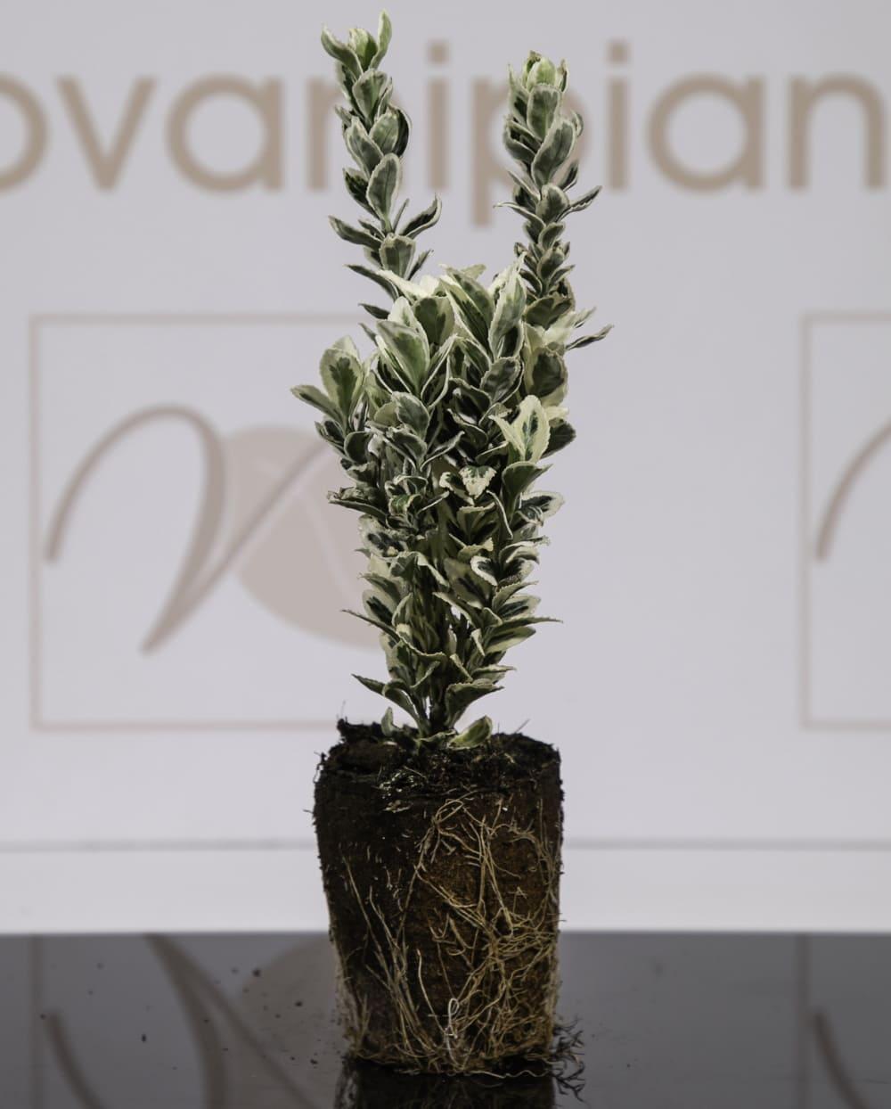 Euonimus White Spire Vaso Biodegradabile