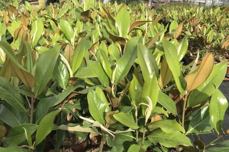 Magnolia Gallisoniensis
