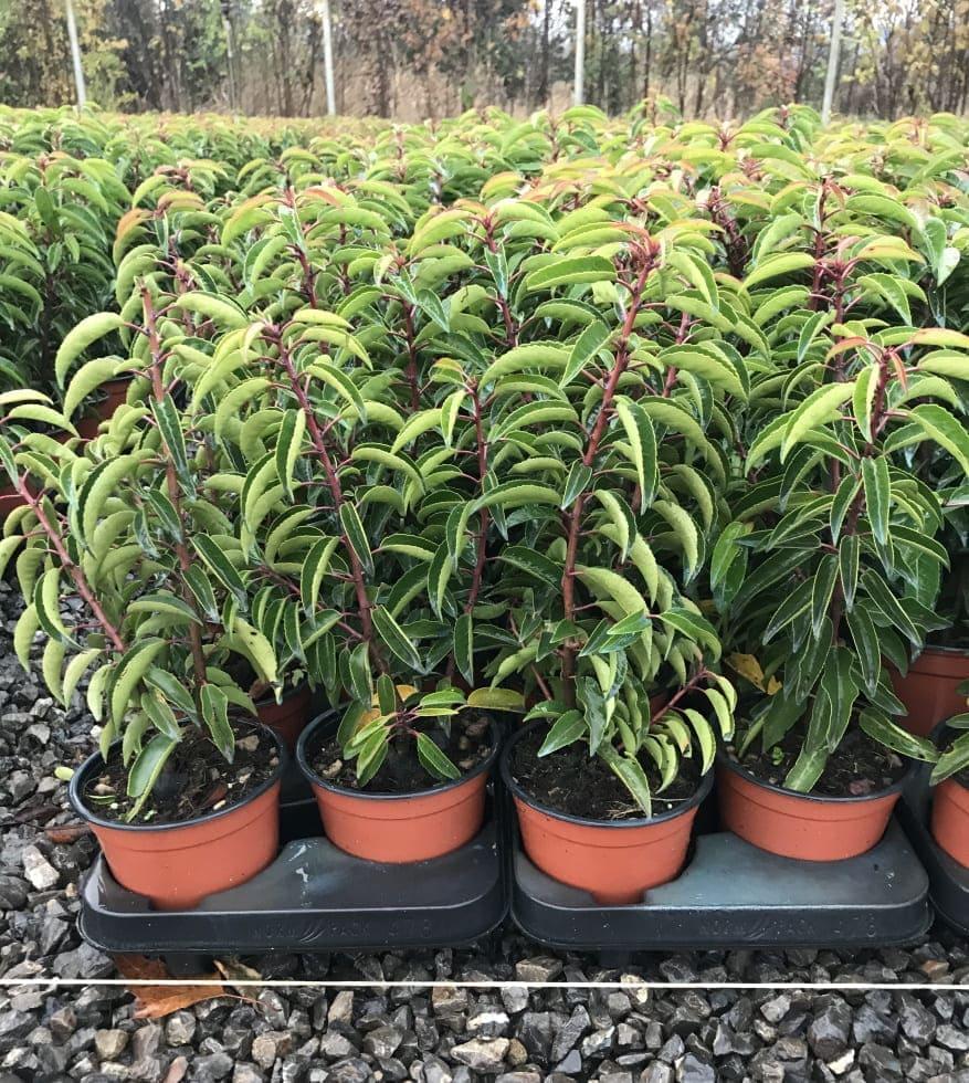 Prunus Lusitanica Angustifolia Vaso 13